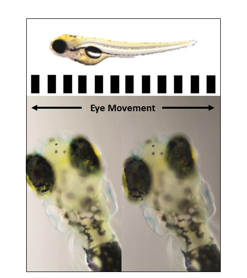 Assessing vision in zebrafish. If the 5 day old larvae see the black and white stripes rotating they move their eyes to track the movement.