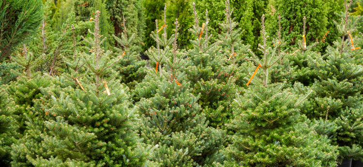 Which are greener, real or artificial Christmas trees?