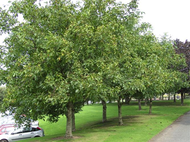 Landscape Trees: Functional Uses of Trees