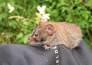 Researcher and bank vole at peace together. Dr. Jon Yearsley.