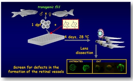 CHEMICAL SCREEN IN ZEBRAFISH: DISCOVERY OF DRUGS ABLE TO INFLUENCE THE DEVELOPMENT OF THE OCULAR VESSELS
