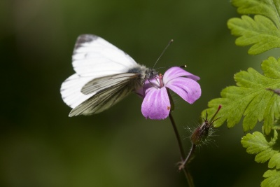 woodland walks green veined white butterfly