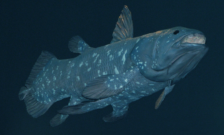 Coelacanth - the living fossil