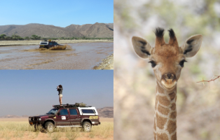 PhD student Emma Hart conducting leading edge giraffe conservation research in arid north-west Namibia (photo credit: Emma Hart). Emma works with Dr Simone  Ciuti and Prof Emma Teeling.