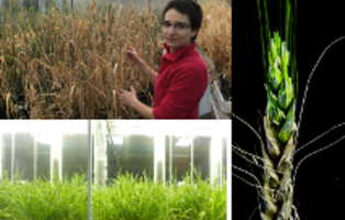 PhD student Myriam Deshaies is working on a project evaluating the effect of biologically derived products on wheat tolerance/resistance to abiotic/biotic stresses. Myriam works in Prof Fiona Doohan's lab and her project is a part of CerealPath programme in collaboration with the company Auranta (photo credit: Bredagh Moran and Dr Alexandre Perochon).