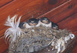 'Young swallows, Co Mayo'. Image by Ms Louise Burns.