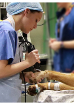 image of dog having hair clipped for anaesthesia